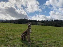 Saluki collie greyhound