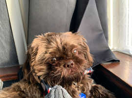 Gorgeous imperial 10 month old male shihtzu