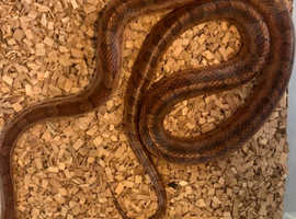 Two corn snakes with free setup