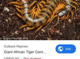 Tigers centipede baby