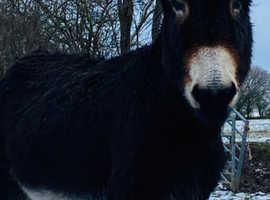 Jack donkey for sale