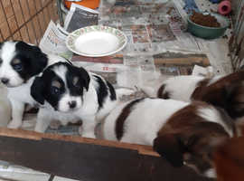 Papillon cross puppies ,perfect as family pets or companions