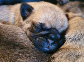 Pugalier pups males and females