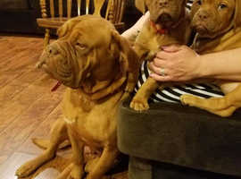 Amazing Red & Beautiful Dogue de Bordeaux puppies.