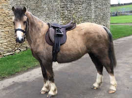 11.1hh, registered Section A mare by . 8 years old.