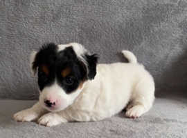 Gorgeous Boy Jack Russell Puppy