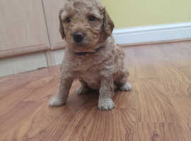 Beautiful dark apricot miniature girl poodle