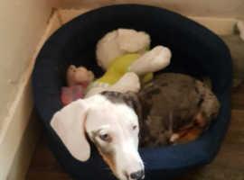 Mini Duchsund puppis