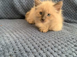10 weeks old lilac kitten with Siamese markings ready now