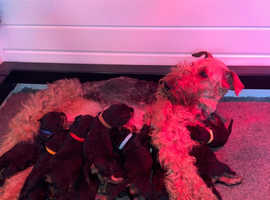 Beutifal litter of champion line Airedale terrier puppies