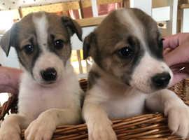 Welsh sheepdog dog cross collie Puppies
