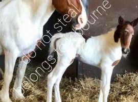 Filly foal for sale Irish sports horse / Irish cob