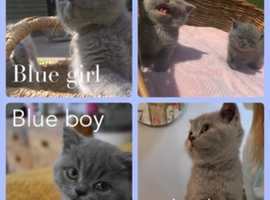 Adorable British Short hair Kittens ready for their new homes