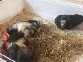 3 small furries guinea pigs