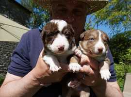 Litter of quality Tri coloured Border Collie puppies