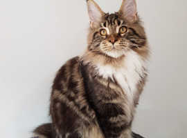 Maine Coon kittens with Pedigree