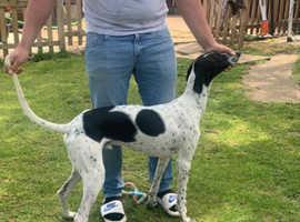 Saluki x greyhound