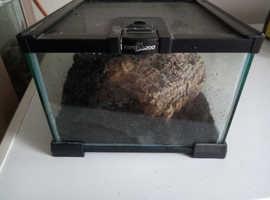 Chaco golde knee tarantula
