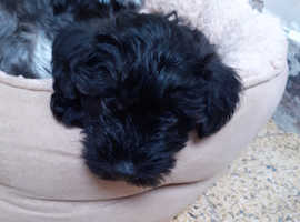 2 beautiful schnoodles puppies. Mum family pet who reared her babies in our kitchen!