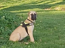 Beautiful female english mastiff