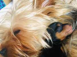 Yorkshire-Biewer Terrier Cross