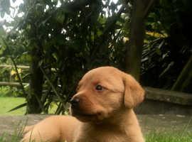 Stunning Foxred labrador Dog Pup