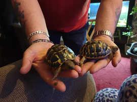 1 dwarf western hermans tortoise