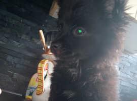 Pomeranian /chihuahua