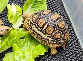 Baby Leopard tortoises for sale
