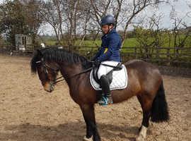 Welsh D X cob mare