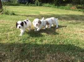 Clumber x Springer pups for sale
