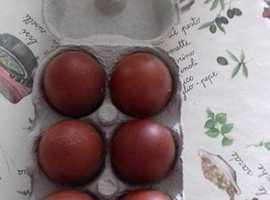 Copper Maran Hatching Eggs.