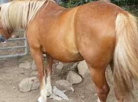 Gorgeous Welsh homebred mare