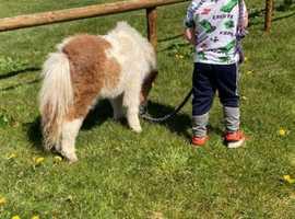 Mini Shetland colt foal