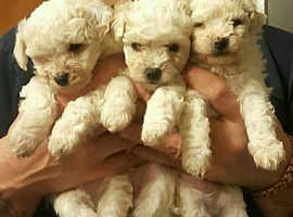 Maltipoochon Puppies