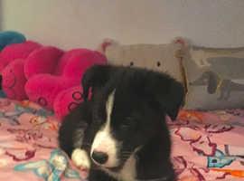 Female border collie puppy