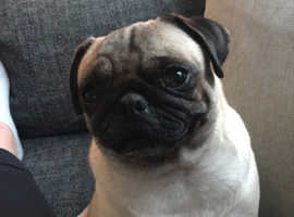 Beautiful female pug for sale ( 3 years old )