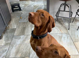 Waiting list now open for KC registered superior Hungarian vizsla pups due 9/1/20