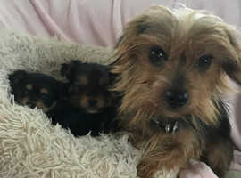 Miniture  Yorkshire terrier babies