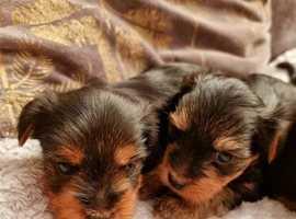 Yorkshire puppies