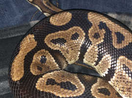 Royal pythons and corn snakes for sale