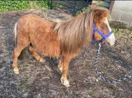 Beautiful Shetland colt