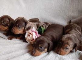Mini dashounds