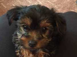 Miniature Yorkshire terrier Biewer puppies.