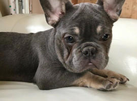 *********French Bulldog puppy off Health Tested Parents available now