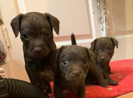 Chocolate patterdale puppies
