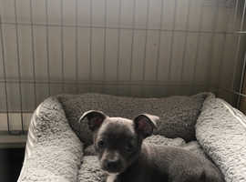 Beautiful rare Blue Jackawawa puppy ( jackawawa X chihuahua)
