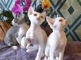 Devon Rex kittens Ready for new homes