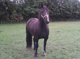 WELSH REG SEC D 14.1.hh BLACK 5YEAR OLD MARE