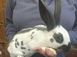 Fully vaccinated baby purebred English rabbit ready now!
